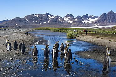 King penguins (Aptenodytes patagonicus), Salisbury Plain, South Georgia, Antarctica, Polar Regions