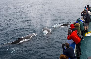 Tourists watching Humpback whales (Megaptera novaeangliae), South Sandwich islands, Antarctica