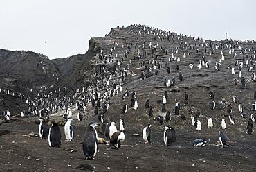 Penguins, Saunders Island, South Sandwich Islands, Antarctica, Polar Regions