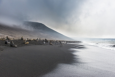 Antarctic fur seals (Arctocephalus gazella) and a huge Chinstrap penguin colony (Pygoscelis antarctica) on a black volcanic beach, Saunders Island, South Sandwich Islands, Antarctica, Polar Regions