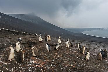 Chinstrap penguin colony (Pygoscelis antarctica), Saunders Island, South Sandwich Islands, Antarctica, Polar Regions