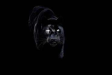 Black panther (black leopard) (Panthera onca), Montana, United States of America, North America