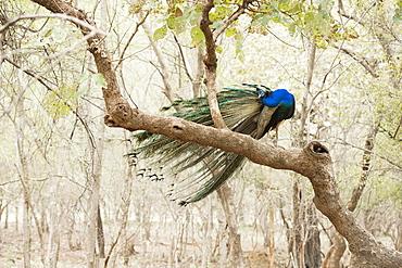 Peacock (Indian peafowl) (Pavo cristatus), Ranthambhore, Rajasthan, India, Asia
