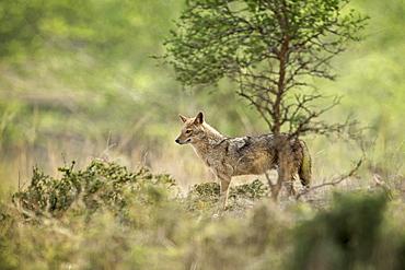 Indian jackal (Himalayan jackal) (Canis aureus indicus), Ranthambhore, Rajasthan, India, Asia