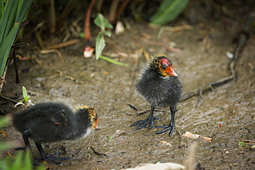 Coot (Fulica) young chicks, Gloucestershire, England, United Kingdom, Europe