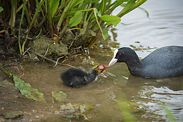 Coot (Fulica), young chick feeding, Gloucestershire, England, United Kingdom, Europe