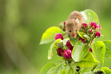 Eurasian harvest mouse (Micromys minutus), Devon, England, United Kingdom, Europe