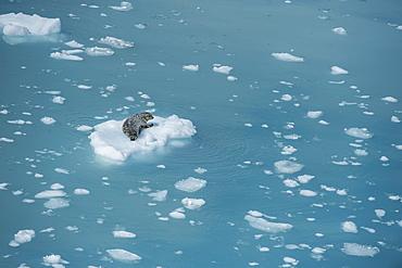 Harbour seal on ice floe, Glacier Bay, Alaska, United States of America, North America
