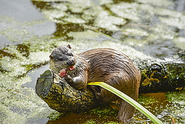 Otter (Lutra lutra), Devon, England, United Kingdom, Europe