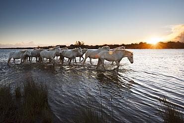 Wild white horses at sunset, Camargue, France, Europe