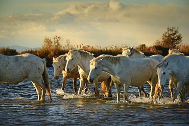 Wild white horses, Camargue, France, Europe