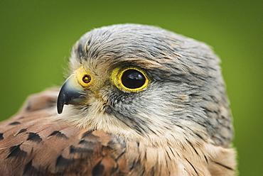 Male kestrel, bird of prey, United Kingdom, Europe