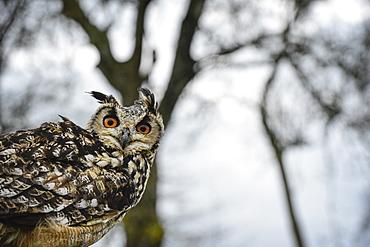 Eagle owl, raptor, bird of prey, Rhayader, Mid Wales, United Kingdom, Europe