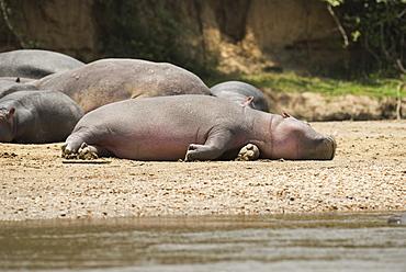 Hippopotamus, Queen Elizabeth National Park, Uganda, Africa