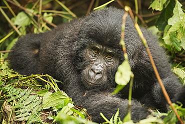 Mountain gorilla, Bwindi Impenetrable National Park, Uganda, Africa