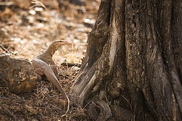Monitor lizard, Ranthambhore National Park, Rajasthan, India, Asia