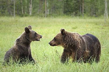 Brown Bears (Ursus Arctos), Finland, Europe