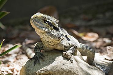 Monitor Lizard (Goanna) (Varanus), captive, Australia, Pacific