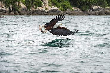 African fish eagle (Haliaeetus vocoder), bird of prey, Malawi, Africa