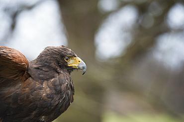 Harris hawk (Parabuteo unicinctus), raptor, Herefordshire, England, United Kingdom, Europe