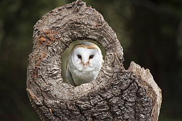 Barn owl (Tyto alba), Herefordshire, England, United Kingdom, Europe
