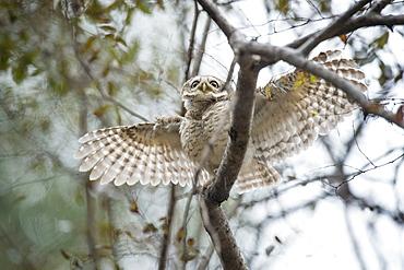 Spotted owlet (Athene brama), Ranthambhore, Rajasthan, India, Asia