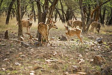 Spotted deer (cheetal) (chital deer) (axis deer) (Axis axis), Ranthambhore, Rajasthan, India, Asia