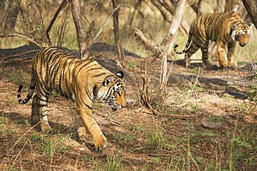 Royal Bengal tiger (Tigris tigris) cubs, Ranthambhore, Rajasthan, India, Asia
