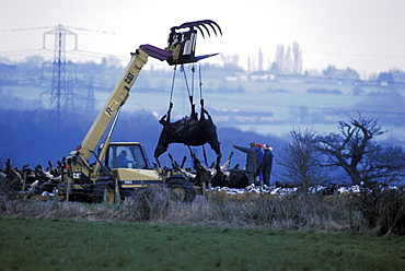 Foot and mouth, uk. Se england, essex. Bulldozers lifting corpses of foot and mouth disease infected cows, slaughtered at a farm in essex. March 2001