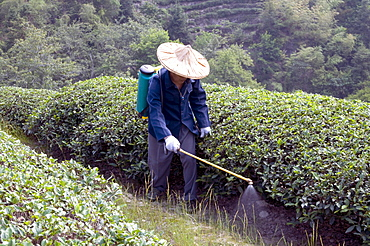 China peasants spraying fertilizer on tea plants during harvest time in yunnan province