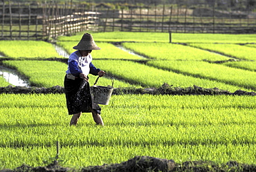 Rice growing, china. Yunnan province. Female farmer working in a paddy field