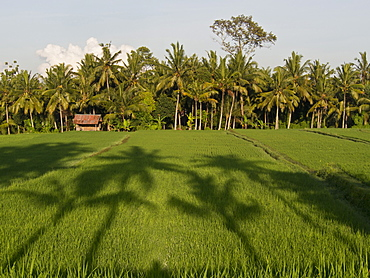 Rice paddy fields in the highlands in Bali, Indonesia, Southeast Asia, Asia