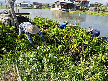 Local farmers work in floating gardens on Inle Lake, Shan State, Myanmar (Burma), Asia
