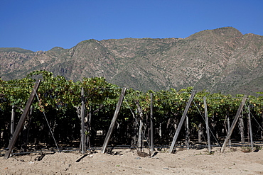 Etchart vineyard in Cafayate region, Salta, Argentina, South America