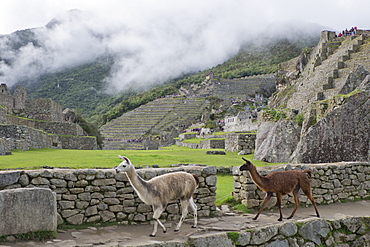 Llamas roaming in the Inca ruins of Machu Picchu, UNESCO World Heritage Site, Peru, South America
