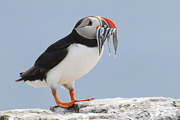 Atlantic puffin (Fratercula arctica) with sand eels, United Kingdom, Europe