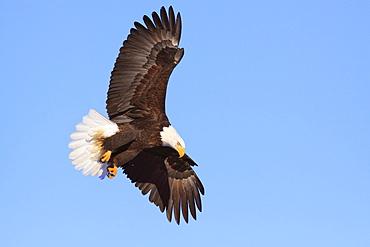 Bald eagle, Alaska, United States of America, North America
