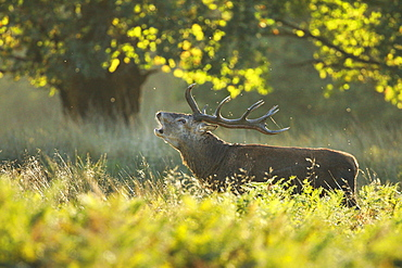 Red deer stag , Richmond Park, Greater London, England, United Kingdom, Europe - 1189-64