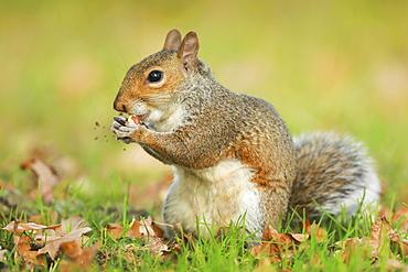 Grey squirrel, Richmond Park, Greater London, England, United Kingdom, Europe - 1189-68