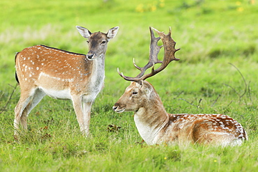 Fallow deer (Dama dama) in Richmond Park, Greater London, England, United Kingdom, Europe
