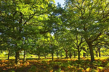 Oak trees, Richmond Park, Greater London, England, United Kingdom, Europe