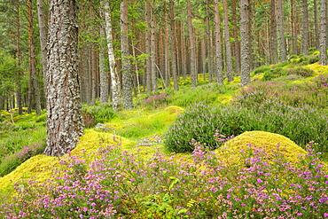 Caledonian pine forest, Carrbridge, Highlands, Scotland, United Kingdom, Europe - 1189-94