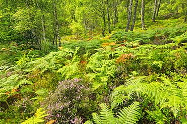 Craigellachie National Nature Reserve, Highlands, Scotland, United Kingdom, Europe - 1189-95