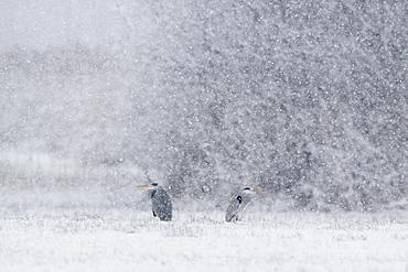 Graureiher, Ardea cinerea, Grey Heron, Zuercher Oberland, Schweiz