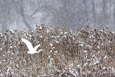 Silberreiher, Egretta alba, Great White Egret, Zuercher Oberland, Schweiz