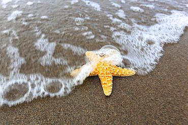 sea star on sandy beach, Sutherland, Scotland