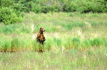 Brown bear. Ursus arctos. Standing on hindlegs at shoreline of lake; summe