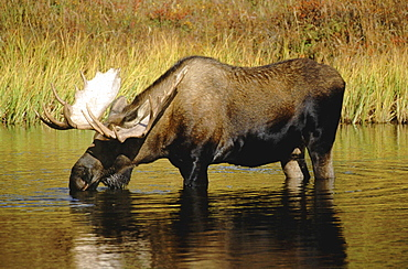 Moose, alces alces. Male bull standing in pond drinking. North america