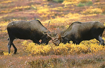 Moose, alces alces. Two males / bulls fighting; locking antlers during rutting season north america