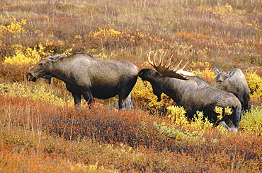 Moose, alces alces. In fall; female/cow and male/ bull; in mating season tundra in fall colour north america